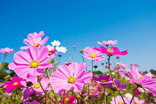 52 419 Cosmos Flower Stock Photos Pictures Royalty Free Images Istock