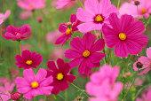 カラフルな花」、「Cosmos 」