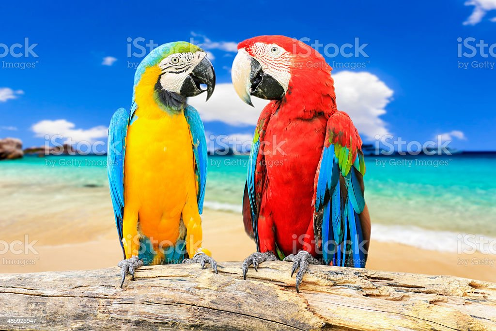 Colorful couple macaws stock photo