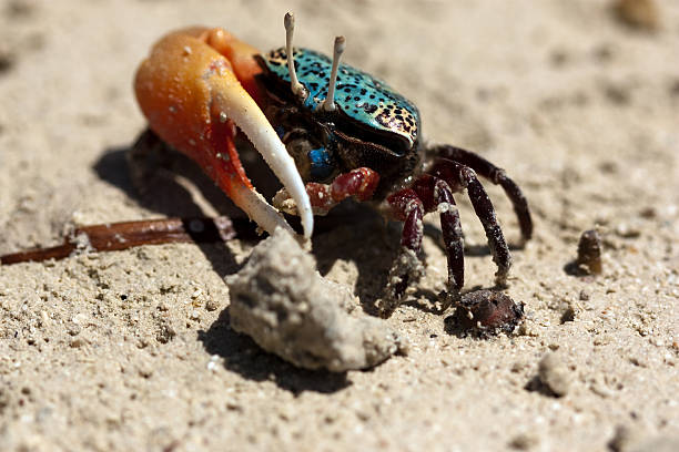 Colorful Crab Looking for Food stock photo