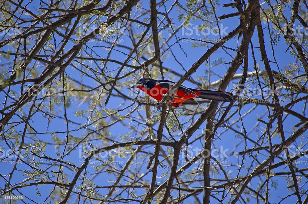 Colorful crimson-breasted shrike royalty-free stock photo