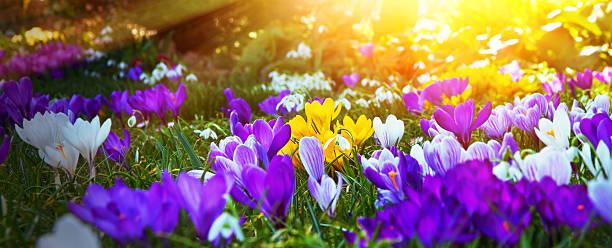 Bunte Frühlingskrokussen in der Sonne – Foto