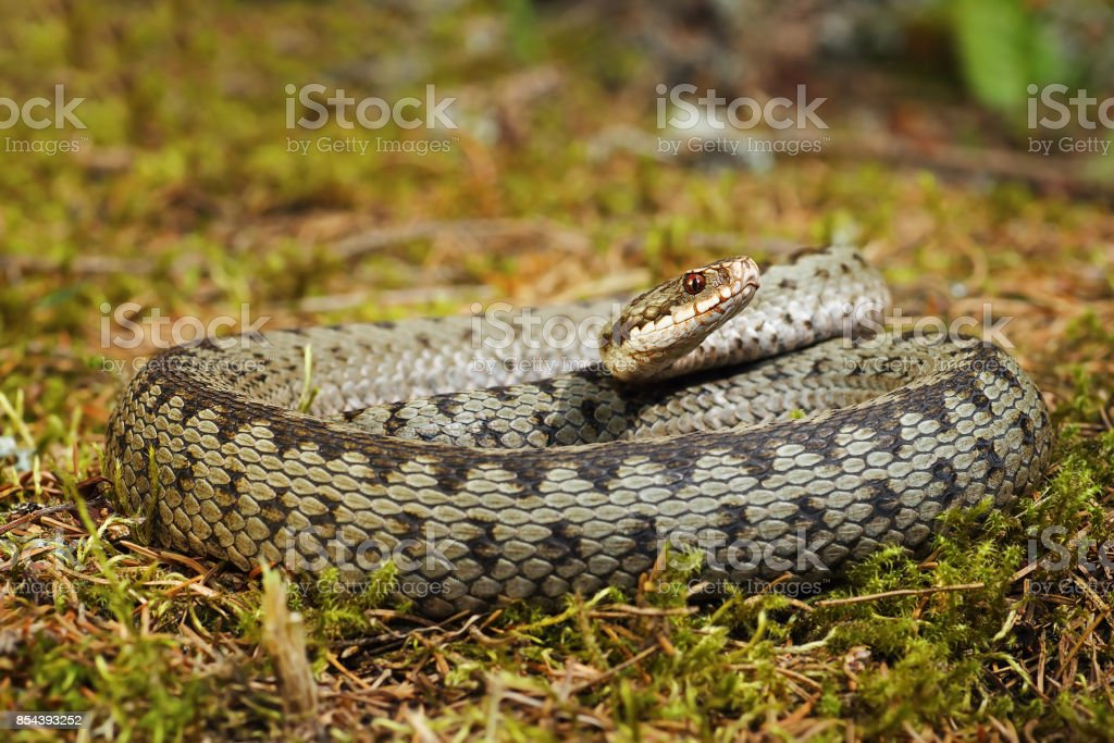 colorful crossed european adder basking  on moss stock photo