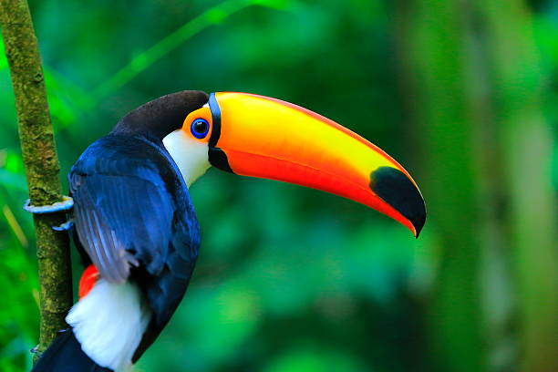 colorful cute toucan tropical bird, brazilian amazon – blurred green background - wildlife stock photos and pictures