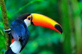 カラフルな南国の鳥トゥーカン、ブラジルアマゾン–ぼやけた緑色の背景