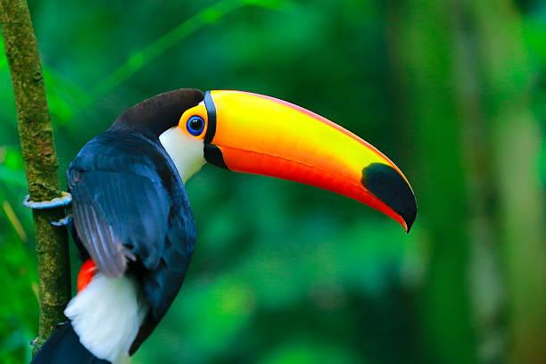 Colorful cute toucan tropical bird in brazilian amazon blurred picture id495292220?b=1&k=6&m=495292220&s=612x612&w=0&h=d7kwhmo swwwpwzdatz00jf7uey67trnzlnex02xurm=