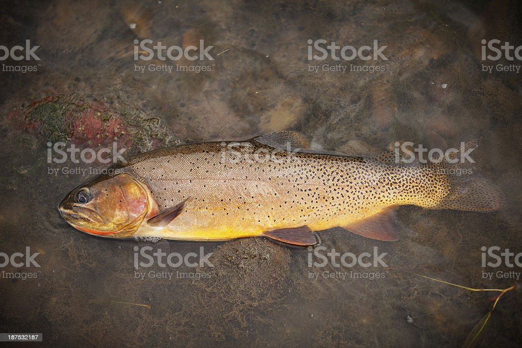 Colorful cutthroat trout royalty-free stock photo