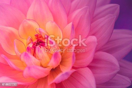 A colorful dahlia up close.