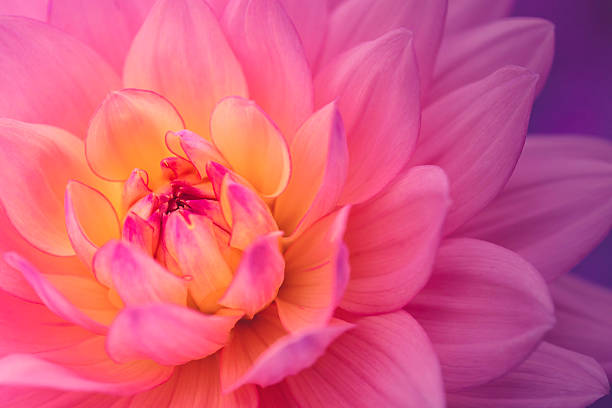 Colorful dahlia flower A colorful dahlia up close. single flower stock pictures, royalty-free photos & images