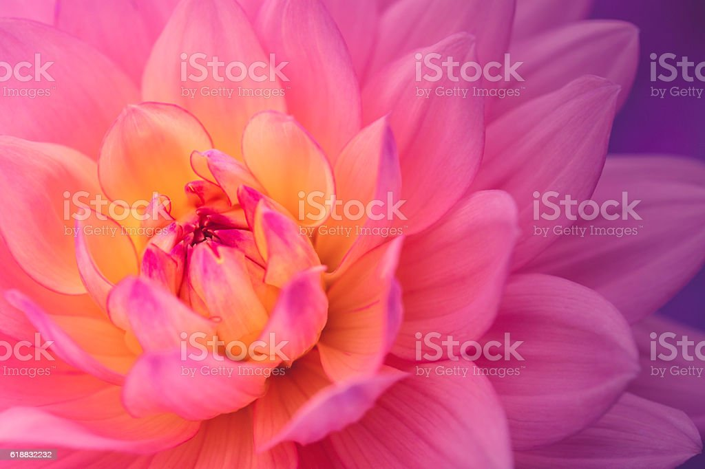 Colorful dahlia flower stock photo