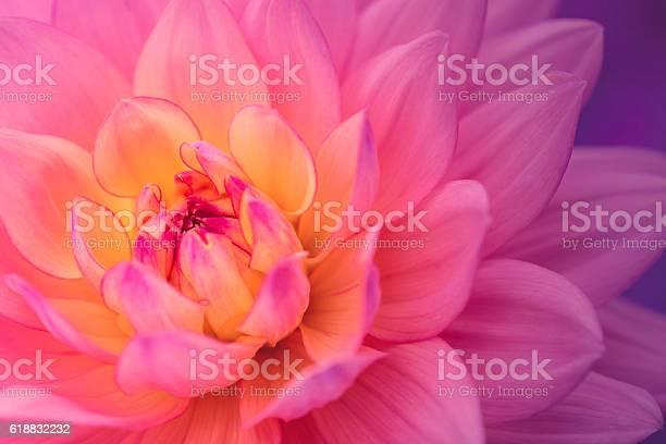 Photo of Colorful dahlia flower