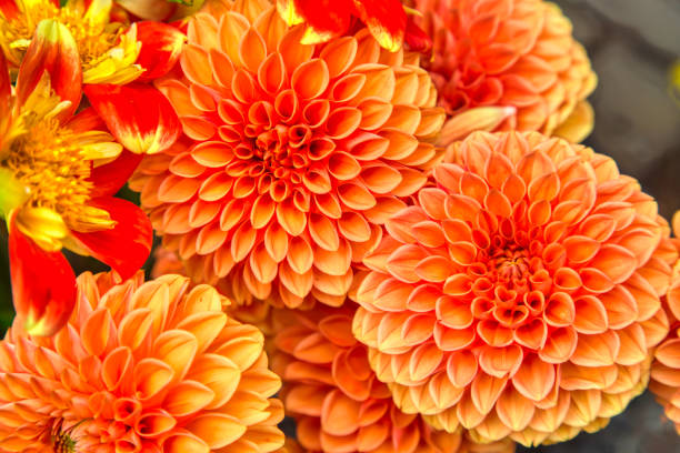 Colorful dahlias at the market stock photo