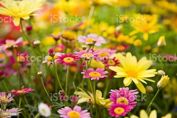 Colorful daisies focus on madeira deep rose marguerite daisy picture id183764567?b=1&k=6&m=183764567&s=612x612&h=dlpzqokg7evsvns6kv1yxjekrbdtdfjmidtey7jmduw=