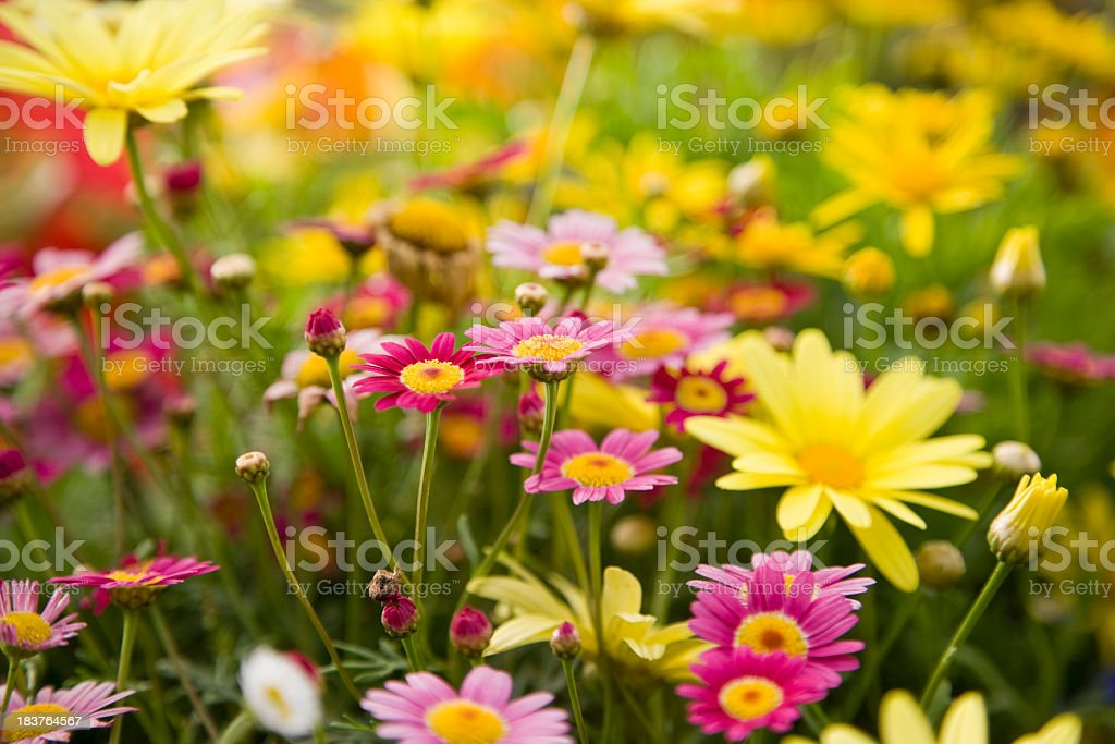 Colorful daisies, focus on Madeira Deep Rose marguerite daisy stock photo