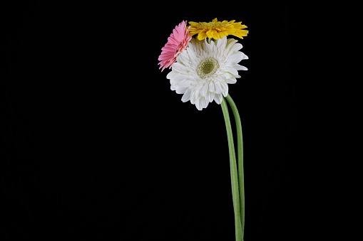 colorful daisies in front of black background