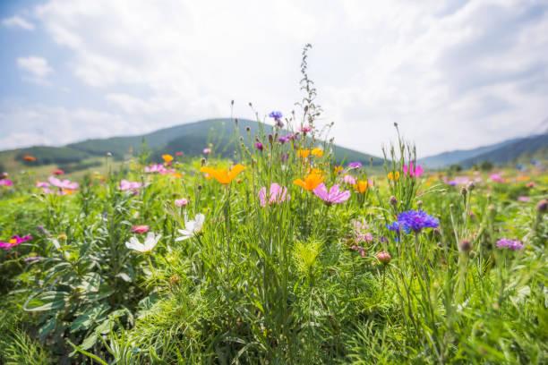 renkli papatyalar - kır çiçeği stok fotoğraflar ve resimler