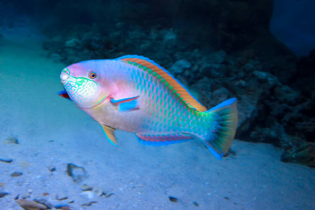 Colorful Daisy parrotfish (Chlorurus sordidus) stock photo