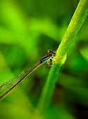 Colorful damselfly resting on a grass twig
