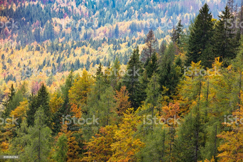 Colorful deciduous and coniferous trees in the magic forest. stock photo