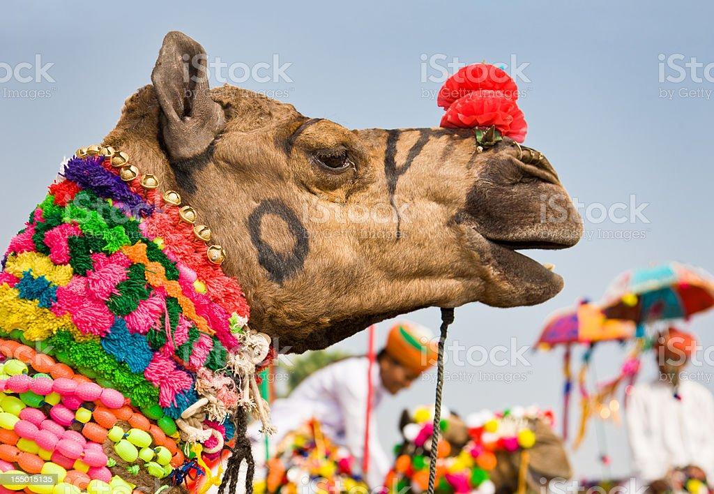 Colorful Decorated Camel Puskar Fair India stock photo