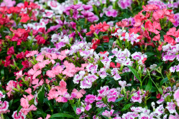 Colorful dianthus barbatus flower, flowerbed of dianthus chinensis flower, outdoor nature background, spring and summer season Colorful dianthus barbatus flower, flowerbed of dianthus chinensis flower, outdoor nature background, spring and summer season perennial stock pictures, royalty-free photos & images