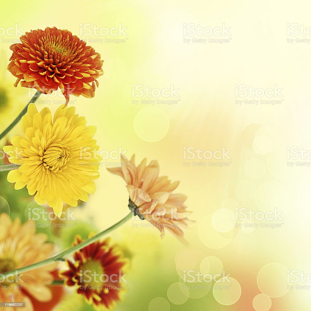 Colorful Dianthus Caryophyllus in light bokeh background stock photo