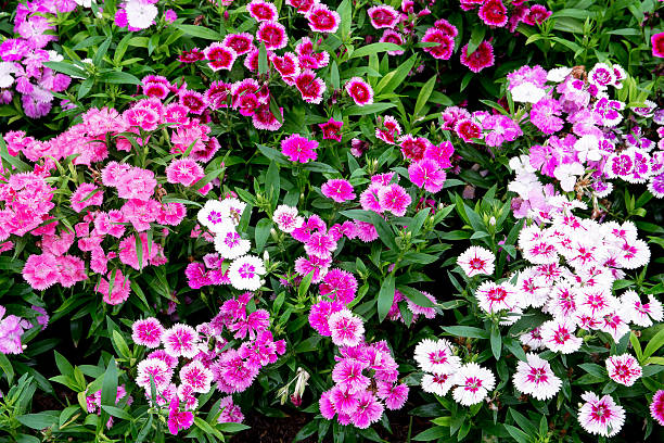 Colorful dianthus flower in the park picture id623447720?b=1&k=6&m=623447720&s=612x612&w=0&h=pnkokb qs8ptecmhsbmsagjutz qphh7fmshjfqs1na=