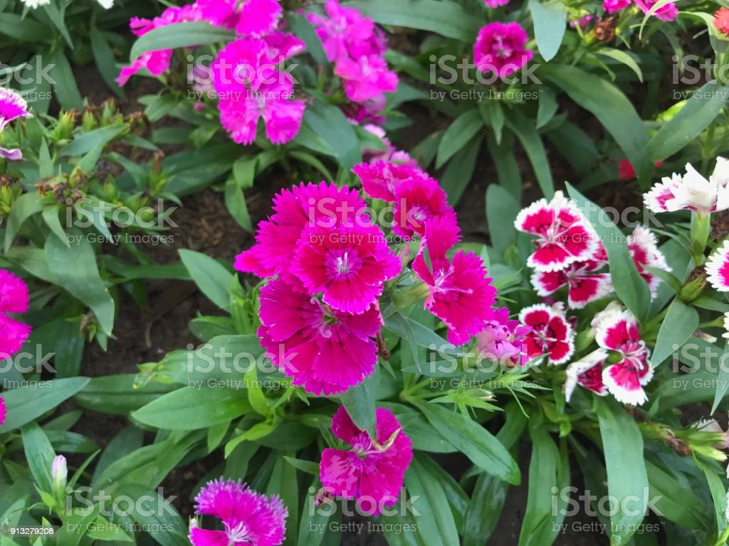 Colorful Dianthus Flowers Stock Photo More Pictures Of At The Edge