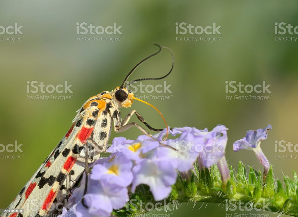 Colorful diurnal moth sucking nectar from blue flowers stock photo