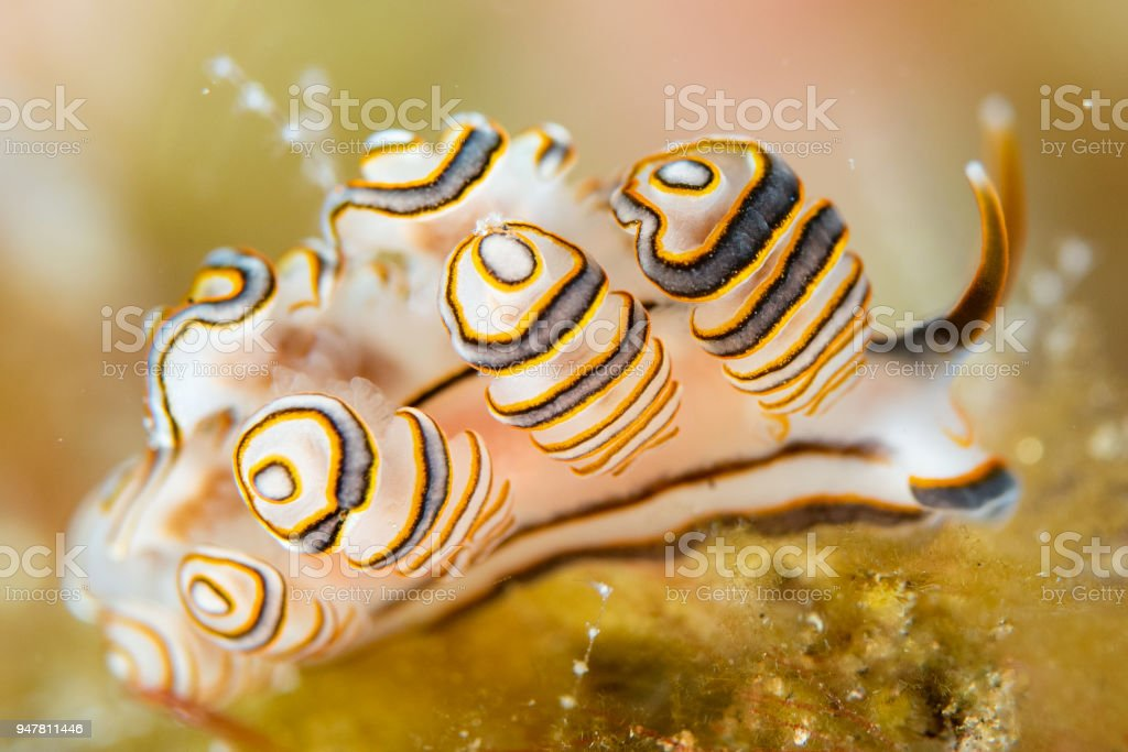Colorful donut nudibranch close up macro detail stock photo