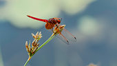 Image of red dragonfly on green leaf.