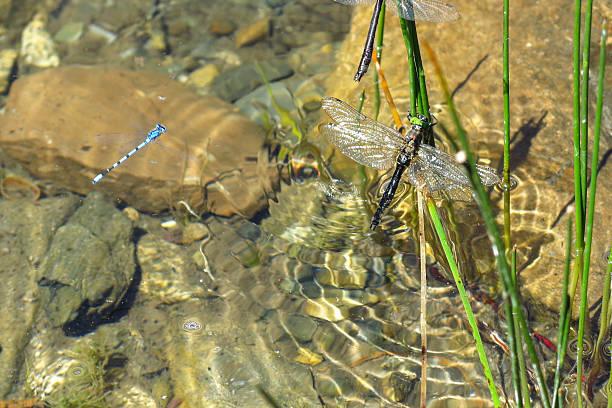 colorful dragonfly in the water. aran valley - teichfiguren stock-fotos und bilder