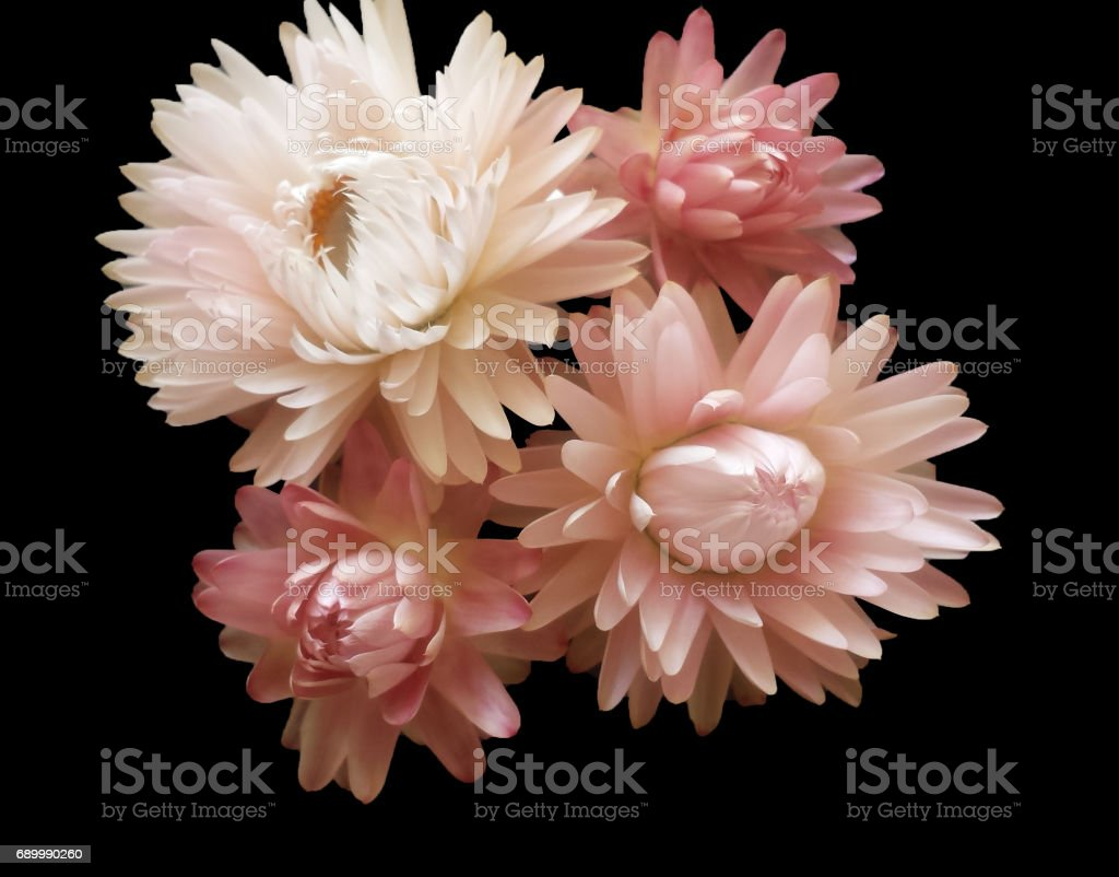 Colorful Dried Everlasting Straw Flowers Closeup Paper Daisies