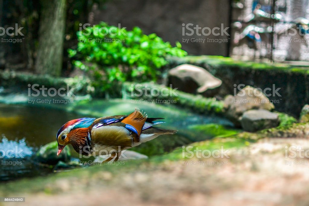 Colorful Duckling stock photo
