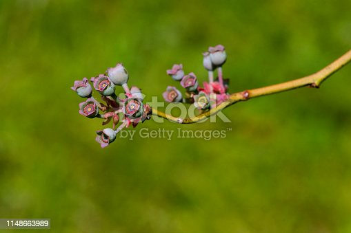 istock Colorful Early Stage Blueberry Fruit 1148663989