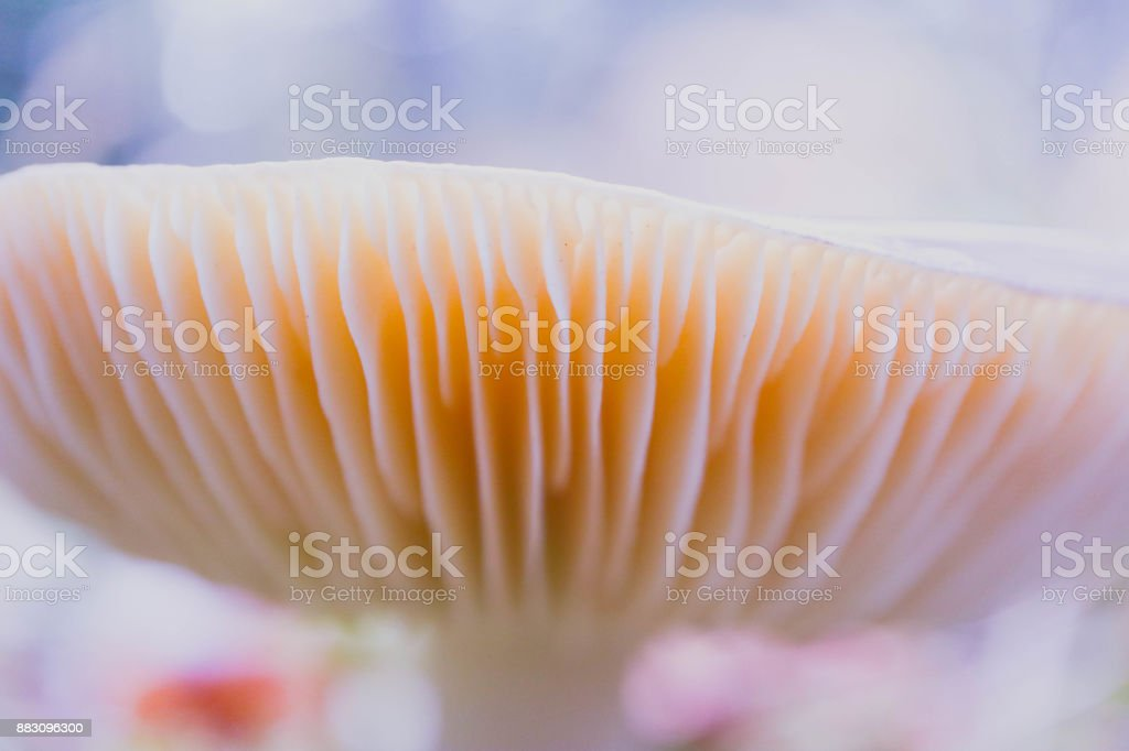 Colorful edible russula mushroom cap, blurred background. stock photo