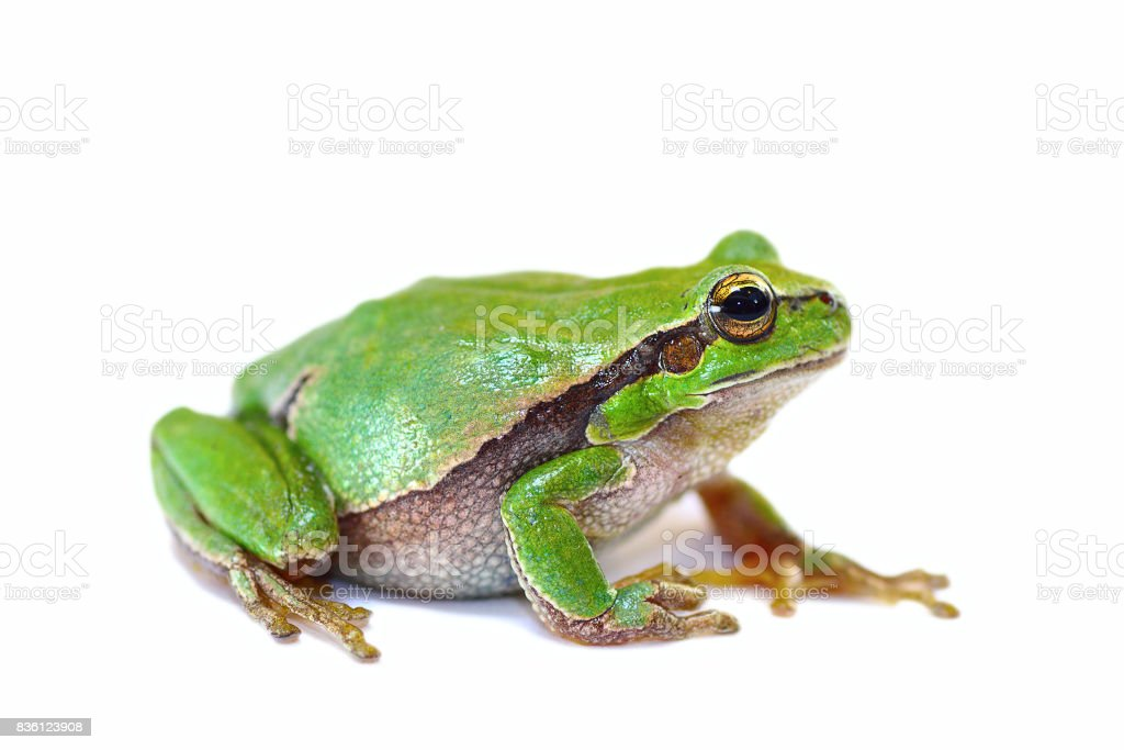 colorful european green tree frog on white background stock photo