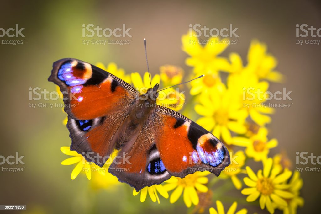 Colorful European Peacock butterfly stock photo