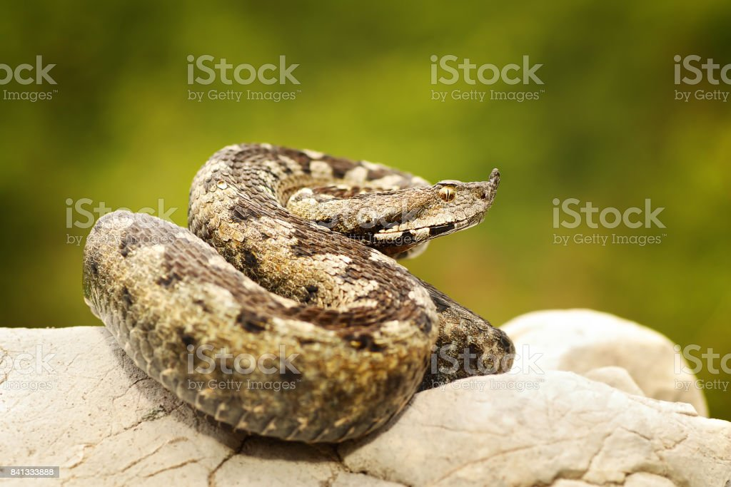 colorful european sand adder basking on limestone rock stock photo