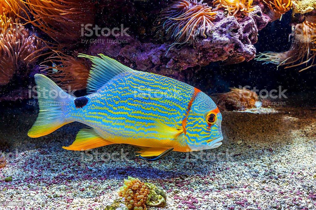 Colorful exotic fish in aquarium. stock photo