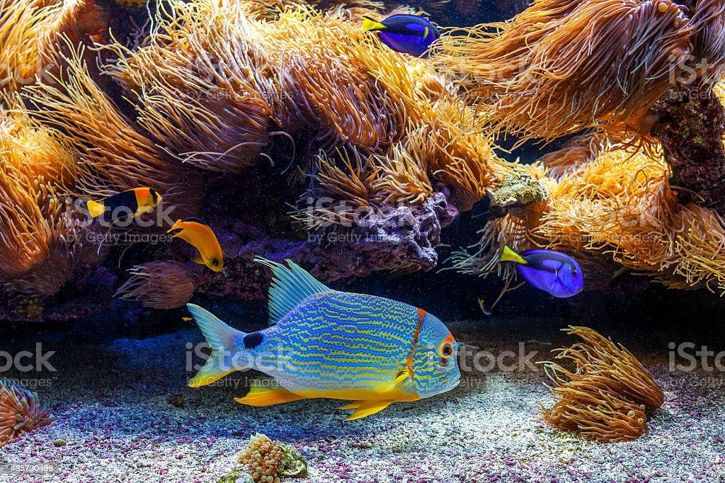 Colorful exotic fishes in aquarium. stock photo