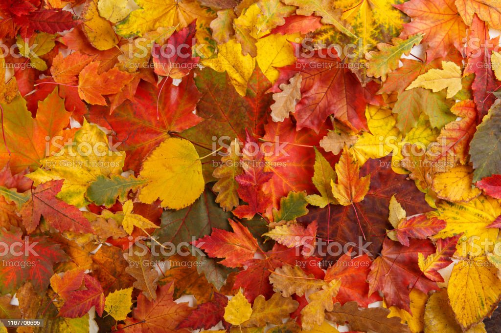 Colorful fall leaves as background. Autumn composition.  Flat lay, top view, copy space. - Zbiór zdjęć royalty-free (Abstrakcja)