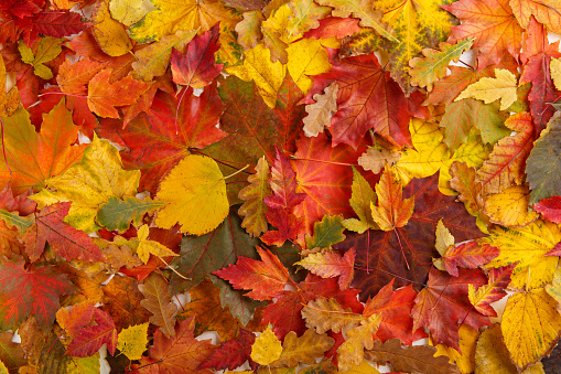 istock Colorful fall leaves as background. Autumn composition.  Flat lay, top view, copy space. 1167706595