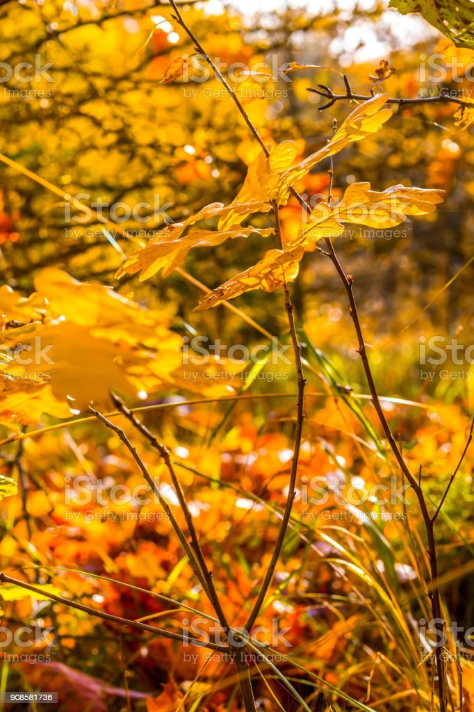 Colorful fall oak leaves with twigs on bright blurred autumn forest backgrounds stock photo