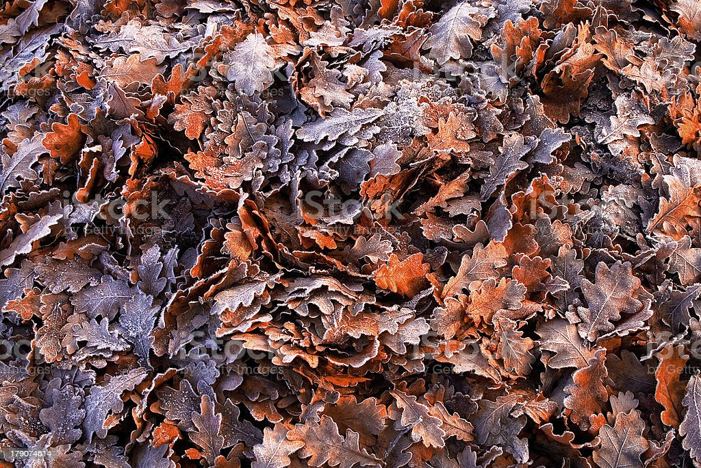 Colorful fallen oak leaves in a frosty morning royalty-free stock photo