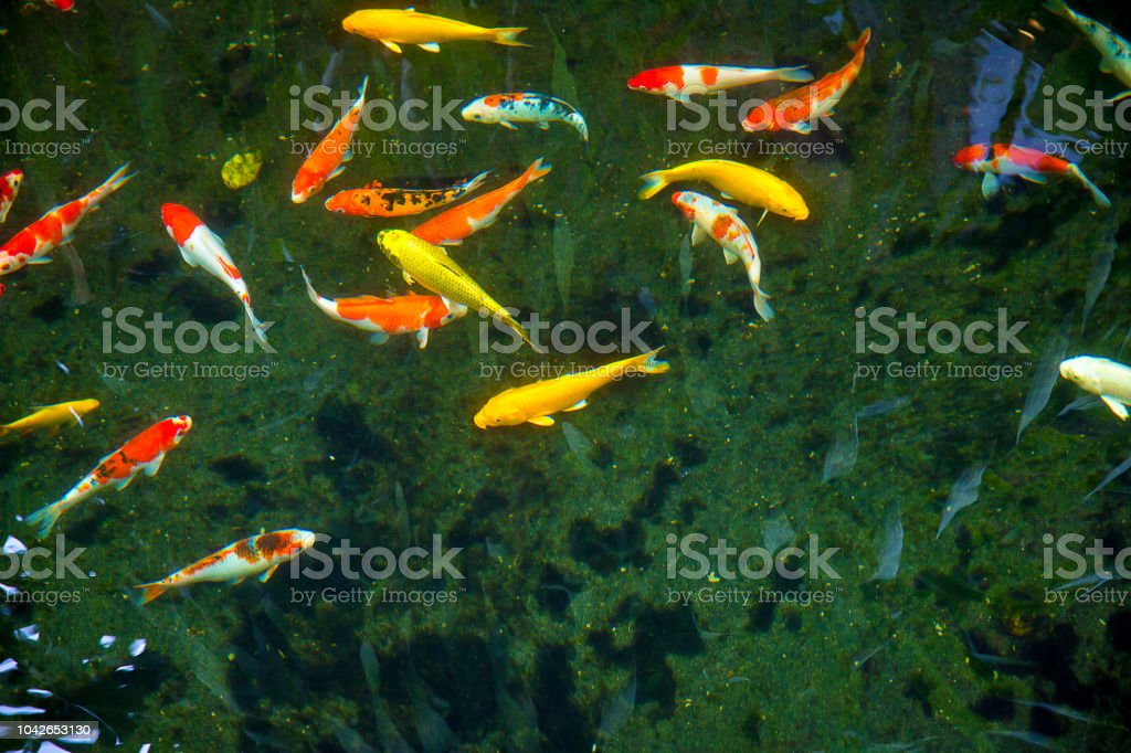 Colorful Fancy Koi Fish with black background . can be use to background, wallpaper,screensaver stock photo
