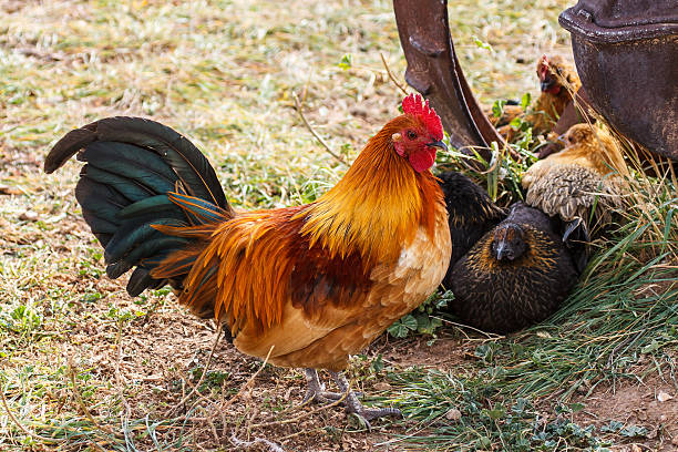Colorful Farm Rooster stock photo