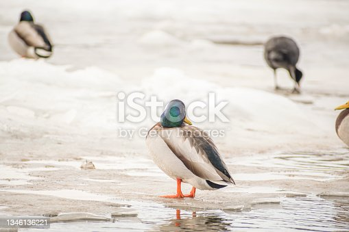 istock Colorful feathers on a head of wild duck 1346136221