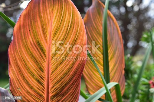 Detail of very colorful ficus leaf with prevailing orange color and clearly visible central and side veins.