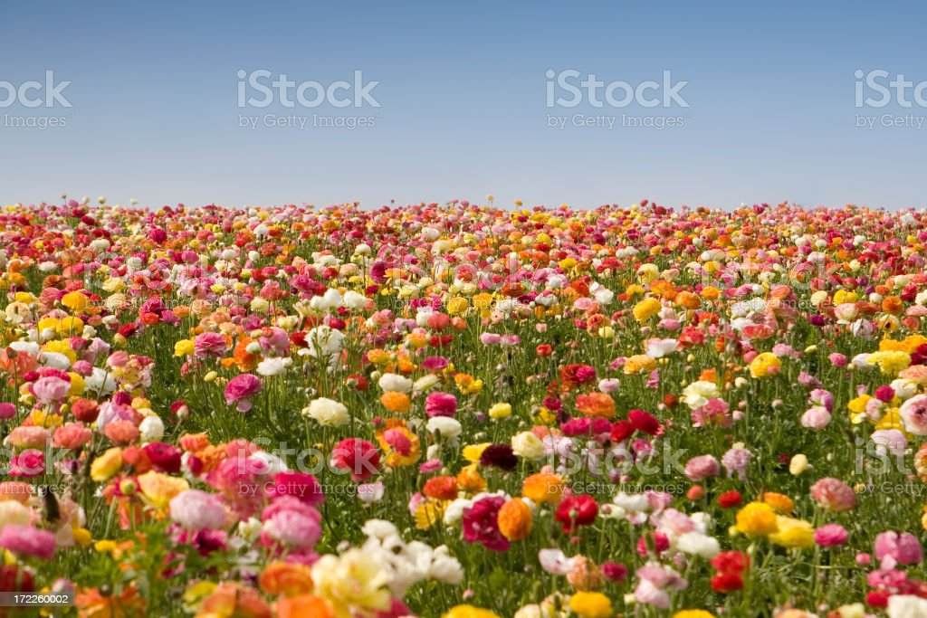 Colorful field full of flowers and grass royalty-free stock photo